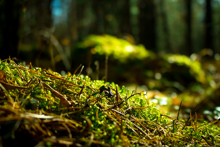 Close up of green moss. Ecology nature landscape. Sunlight in dark forest. Macro
