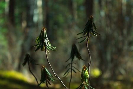 Rhododendron branch in dark green forest, close up. Sunlight. Blurred background