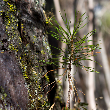 Sprout of siberian pine near the big tree, closeup. Ecology nature landscape