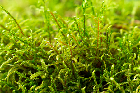 Close-up of green moss in the forest. Bright sunlight Фото со стока