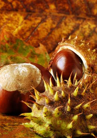 conker: horse chestnut  conkers arranged on autumn leaves