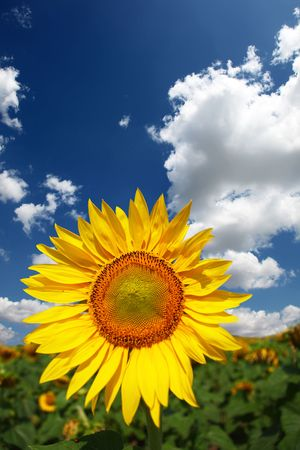 sunflower and sky Stock Photo - 5885387