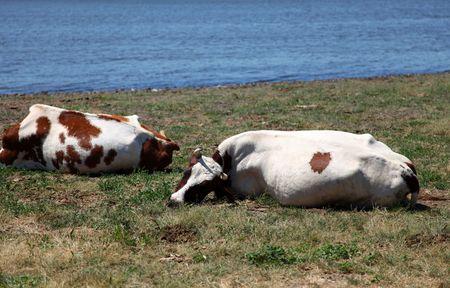 cud: Cows lie at coast  Stock Photo