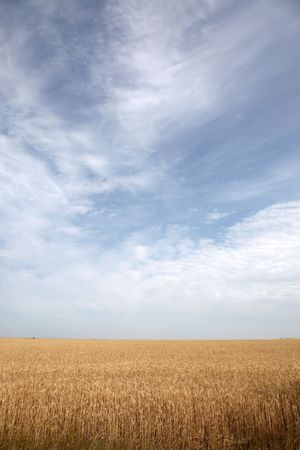 gold ears of wheat under sky. soft focus on field Stock Photo - 7498431