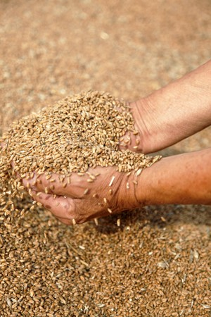 Wheat and hands of the old farmer  photo