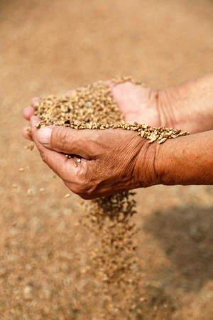 sowing: Wheat and hands of the old farmer