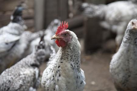 chiken in village Stock Photo - 7514051