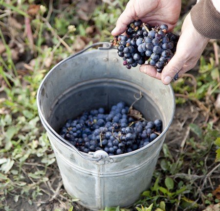 A pail is laden with Moldova S101 grapes ready to make wine in South Bessarabia, Ukraine. photo