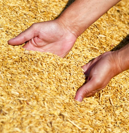 Farmers hands keeping wheat harvest. Ukraine, East Europe. photo