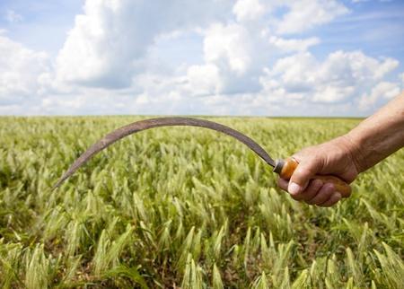 Hand keep sickle over wheat field. photo