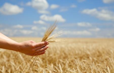 Female farmer hands keep crops over field. photo