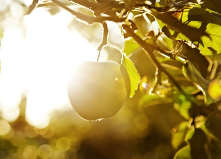 maturing: Fruit apples in the light of the sun Stock Photo