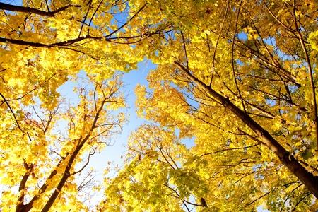 Upward view of fall trees. photo