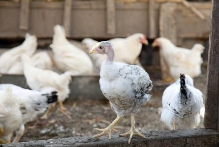 Bold chicken at the village farm. photo