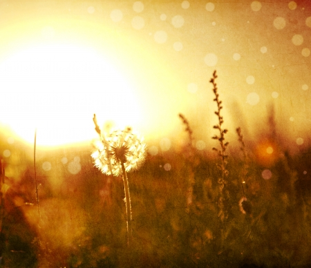 dandelion field: Real field and dandelion at sunset.