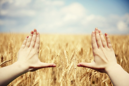 creative pictures: Hands frame over the wheat field