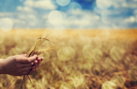 seed growing: Farmer hand keep green wheat spikelet.