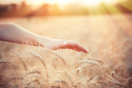 배경에 햇빛 밀 필드 위에 여성 농부의 손