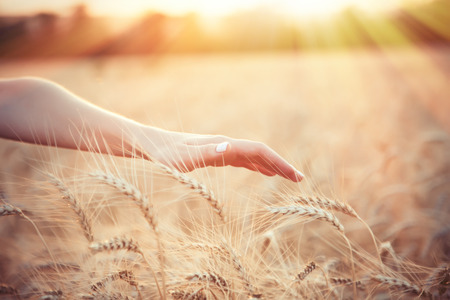 female person: Female farmer hand over wheat field with sunlight on background