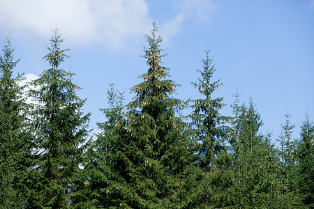 picea: Fir forest on blue sky background.