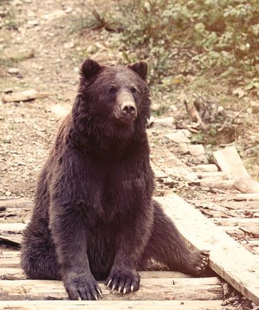 bear berry: View on european brown bear close up, Ukraine