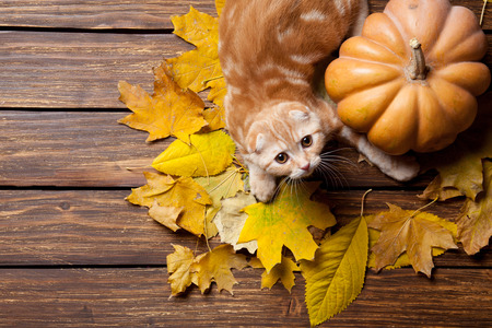 colorful: Ginger kitty and maple leafs near a pumpkin