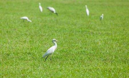 herons: Wild herons on green grass
