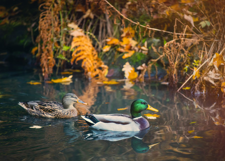 Photo of two wild ducks in the river