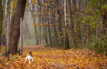 Young Jack Russell Terrier dog in the autumn park Stock Photo