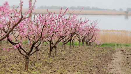 photo of beautiful blooming trees with wonderful small pink flowers in spring Stock Photo