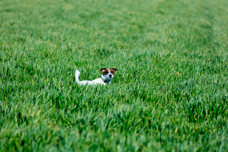 cute jack russel terrier standing on the grass in the beautiful field