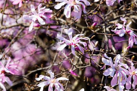Blossom Magnolia Soulangeana tree in spring time in the garden Stock Photo