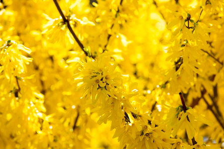 photo of beautiful yellow blooming Forsythia tree with wonderful petals