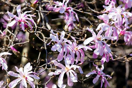 magnolia soulangeana: Blossom Magnolia Soulangeana tree in spring time in the garden Stock Photo