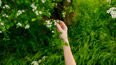 Female hand holding a branch of a flowering tree in a park 版權商用圖片