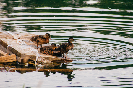 A brood of ducklings sitting by the lake on a wooden raft and waiting for mom Stock Photo