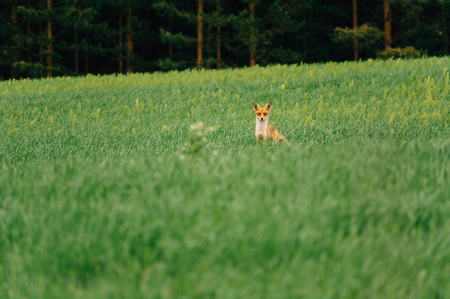 Summer evening. Fox stands in the middle of the field and looks at the camera