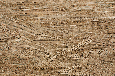 Dried palm branches of gray color laid out with each other .Texture or background.