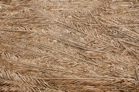 Dried palm branches are grey .Texture or background.