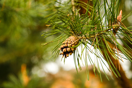 On the branch hangs one open pine cone.Texture or background.