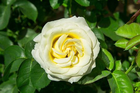 A white rose blossomed in the garden.