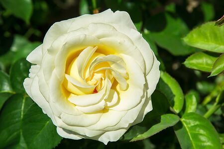 In the garden near the house bloomed a white rose Bud close-up Standard-Bild
