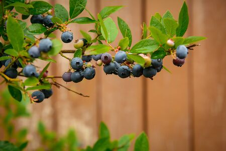 In the garden on a branch hanging ripe blueberries .Texture or background Zdjęcie Seryjne