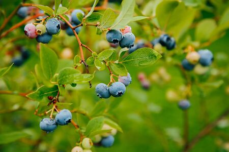 Blueberries weigh on a Bush branch .Texture or background Zdjęcie Seryjne