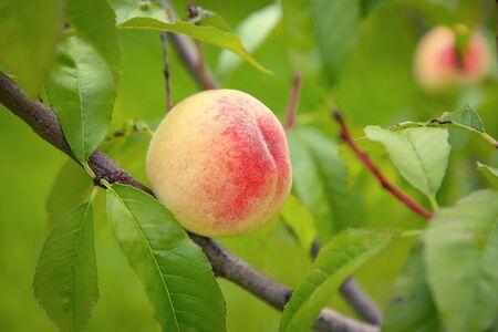 On a peach tree hangs a peach closeup.Texture or background