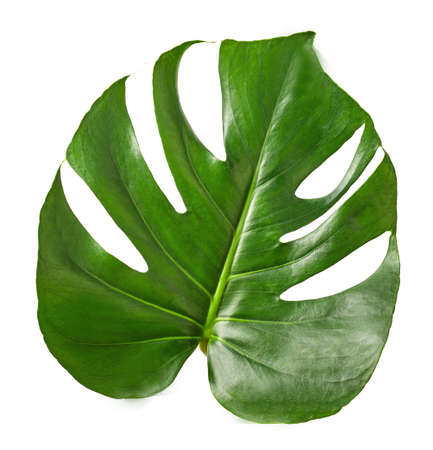 One isolated leaf of the monstera plant.Texture or background