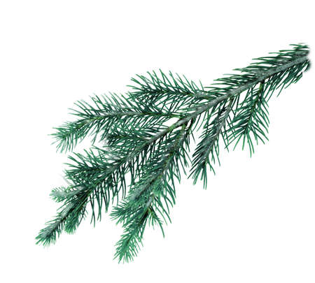Prickly spruce branch green on a white background . Texture or background. Banco de Imagens