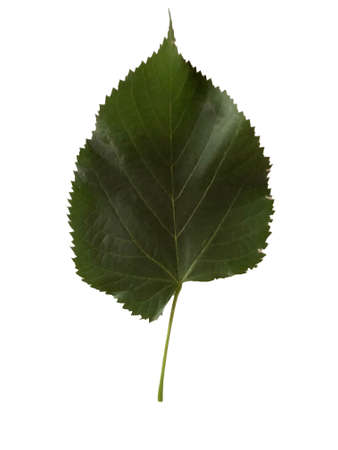 One birch leaf isolated on a white background Banco de Imagens
