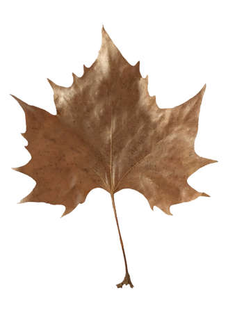 Close-up of a brown dry maple leaf on a white background