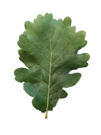Green oak leaf on a white background.Texture or background
